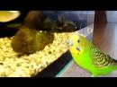 Говорящий попугай Пиксель общается с аквариумными рыбками