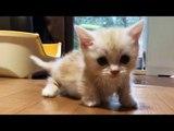 This Short Leg Munchkin Kitten Will Warm Your Heart