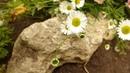 Карликовая почвопокровная ромашка для альпийской горки.