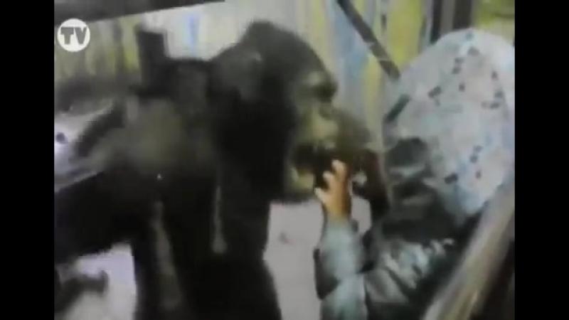 Непонимание обезьяны