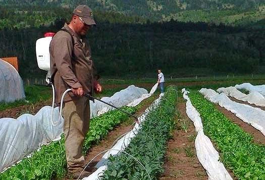 Рецепт по защите цветов и овощей от вредителей : 2 столовые ложки горчицы развести в литре воды (90 градусов), охладить, процедить, залить в распылитель. Обрызгивать садовые растения после