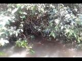 НА ПРЕМИЮ ДАРВИНА: Бразильские рыбаки таскают огромную анаконду за хвост  Номинанты на премию Дарвина из Бразилии. Группа рыбаков обнаружила в кустах недавно пообедавшую парагвайскую анаконду длиной не меньше пяти метров. Вместо того, чтобы валить подальш