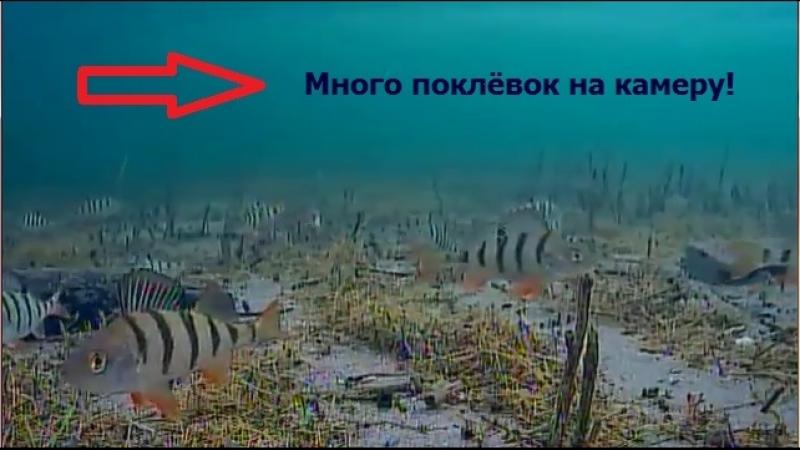 Окуни в подводной камере