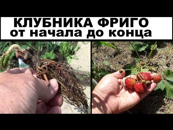 Выращивание клубники по технологии фриго Весь мой эксперимент в одном видео