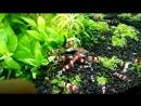 Красный кристалл 'Crystal Red Shrimp'