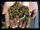 ПОЧЕМУ УМИРАЮТ ПЧЕЛЫ В 2019 Россия потеряет половину пчелопоголовья