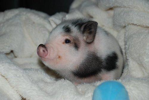 Ну как можно быть такой милой свиньёй)))