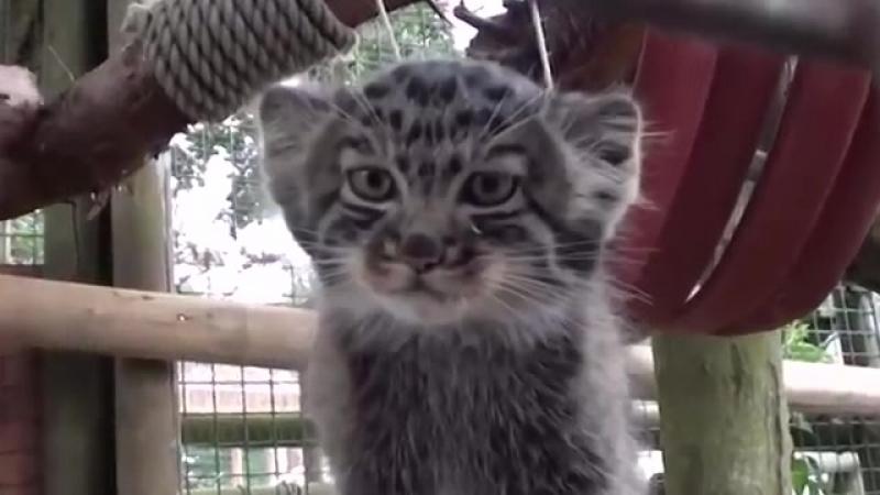 Манул - Кошка, нетронутая человеком _ Manul Pallass cat-spian--scscscrp