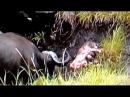 Búfalos Matan a León - Cazador Cazado