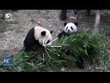 Панды не могут поделить бамбук!