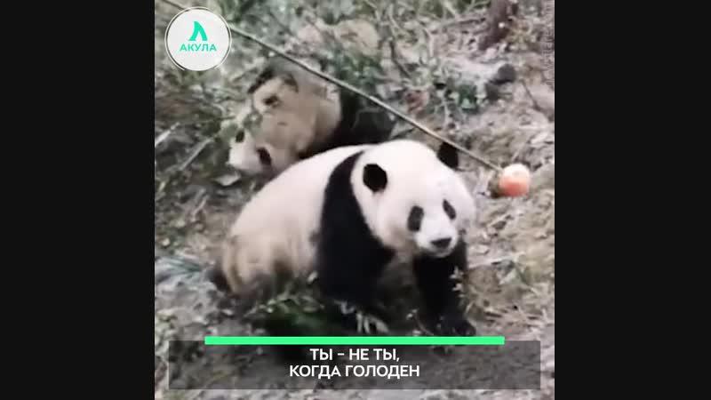 Яблоко мирит панд АКУЛА
