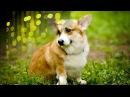 Подборка № 1 Самая популярная порода собак 2017 - Вельш-Корги Пемброк (Welsh Corgi Pembroke) 犬