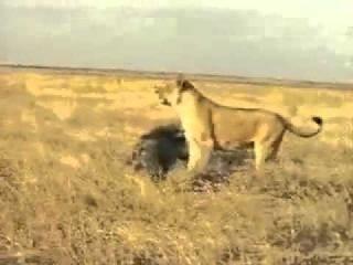 Кабан против льва Кабан молоток=) Кто тут царь зверей ахахах