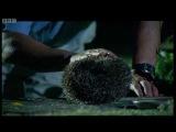 Hedgehog Mating Rituals - Attenborough -  Life of Mammals - BBC