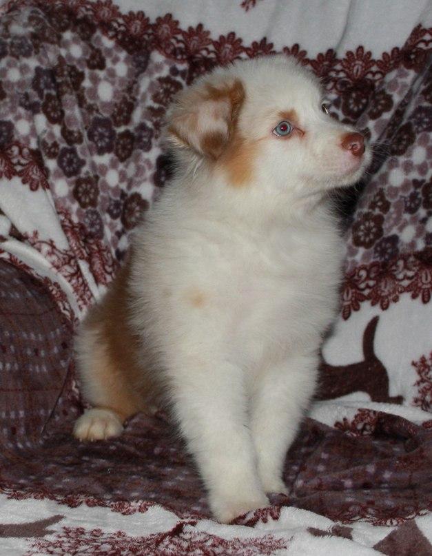 Красный мрамор, щенки в Ленинградской обл. SOMR6cnXYU8