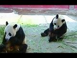 Животные в зоопарках мучаются из-за жары в Китае.