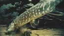 РЫБАЛКА НА ЩУКУ! АТАКА ЩУКИ НА КАРАСЯ! Подводная съемка
