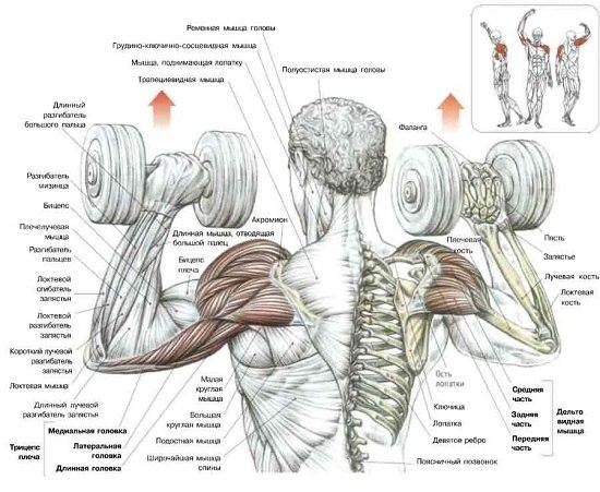 накачке дельтовидных мышц,