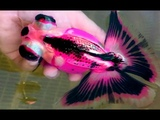 New Breeding Size Gold Fish World top colour (FISH AQUARIUM)