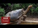 Черепаха в одиночку спасла свой вид от вымирания