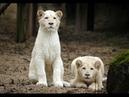 Львы альбиносы африканских саванн Серия 1 Познавательный фильм