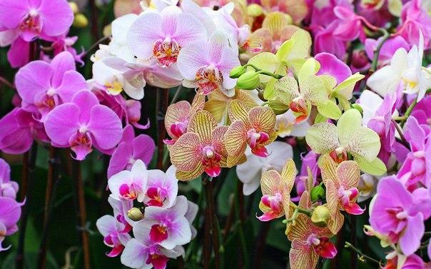 О размножении фаленопсисов! Фаленопсис является наиболее неприхотливым видом орхидей. Если за растением правильно ухаживать, обеспечивая ему оптимальные условия и полив, то цветением оно будет радовать в любое время года. Кстати, два-три цветения в год для фаленопсиса – это реальность. Именно поэтому цветоводы так любят эту орхидею. Если вы тоже относитесь к поклонникам фаленопсиса, то, скорее всего, хотели бы украсить этими растениями все подоконник. Однако цена орхидеи «кусается». Как быть?…