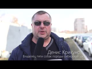 Эксплуатация щенков хаски в омском хаски- парке