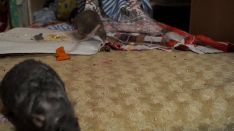 Крысы хавают ягоды
