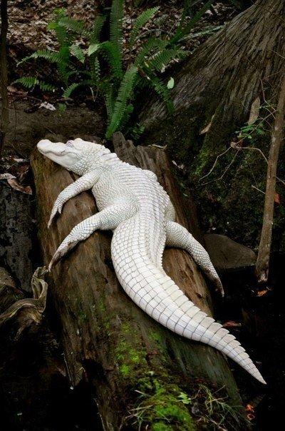 El aligator-albino rarísimo blanco
