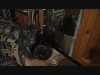Продаем шотландских котят.Казань