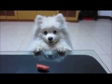 Funny Dog trying to reach a sausage - Funny Video - NEW VERSION!