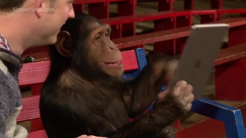 Chimpanzees React To iPad Magic Реакция шимпанзе на планшет и фокусы