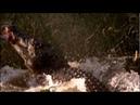 Гребнистый крокодил атакует кенгуру