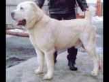 Собака породы  ТОБЕТтер,  Алабай   Азиат
