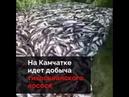 Действующая цена на красную икру на Камчатке 3500,0