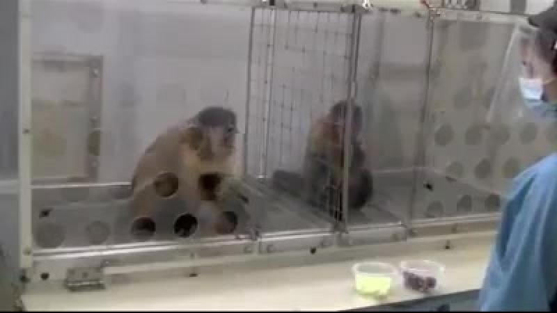 Мир животных обезьяны капуцины освоили деньги и поделились на сословия - работяг, тунеядцев и т.д.