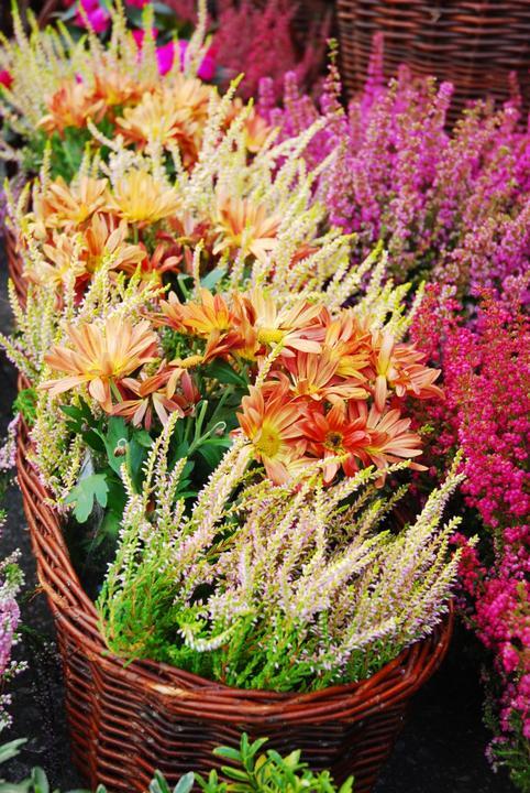 Осенний сад на даче-вереск, эрика, хризантема
