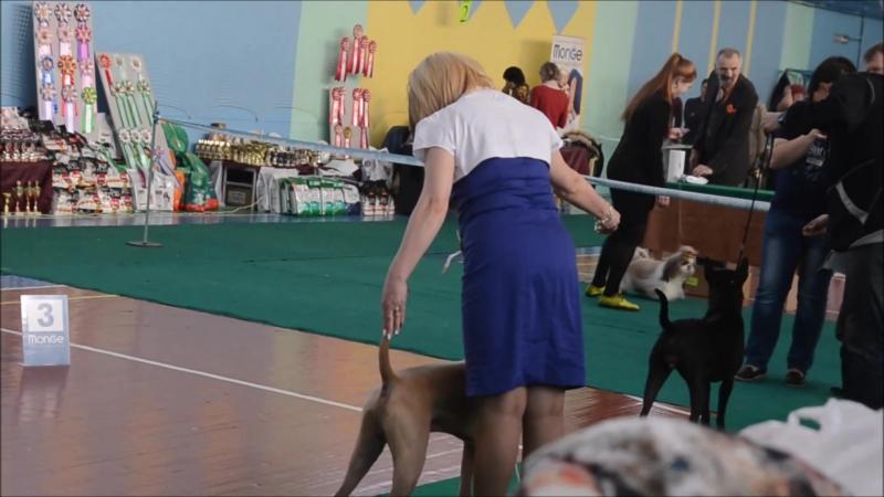 12.11.2017 - Выставка собак Брянск - Тайский риджбек - Thai Ridgrback - HANN MIRION ET TAR-MENEL
