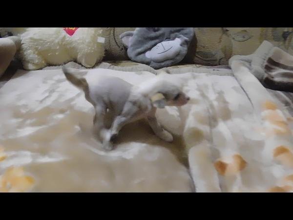 Забронирован щенок №4 китайской хохлатой собаки - девочка голая бронзово-белая.