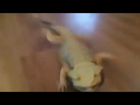 Bearded dragon trying to run on slippery floor HILARIOUS!