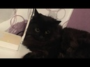 Black Persian Cat Play with Toy I Cat Compilation I 냥이멍이