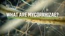 MYCORRHIZAE How does the symbiosis take place