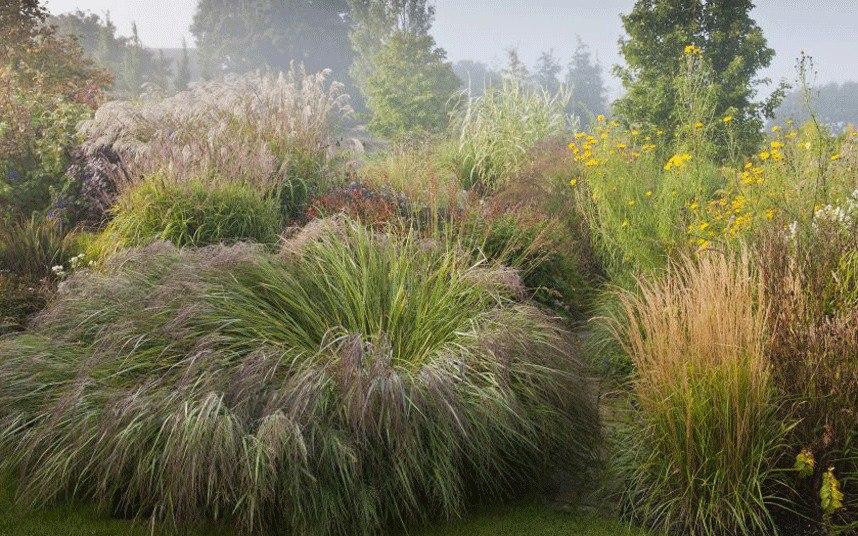 Осенний сад на даче-Panicum virgatum Shenandoah декоративная трава