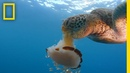 See a Sea Turtle Devour a Jellyfish Like Spaghetti National Geographic