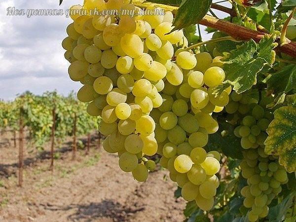 Многие начинающие виноградари задаются вопросом, как формировать виноград, чтобы он приносил большие, а главное постоянные урожаи