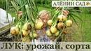 Лучшие сорта ОЗИМОГО ЛУКА Сбор урожая лука Когда убирать лук Пероноспороз лука