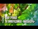 """Сбор урожая на виноградниках """"Массандры"""""""