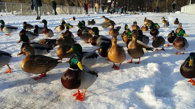 Утята шумною толпою встречают всех на входе в парк 😀