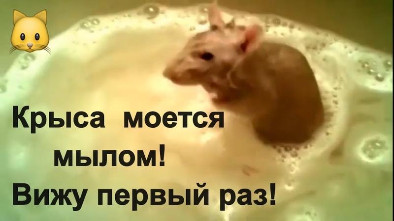 Крыса и Нутрия Моются тщательно . Чистюли. Животный прикол