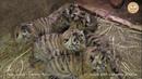 Тигриный рекорд 6 тигрят у одной тигрицы Тайган Tiger record 6 cubs of one tigress Taigan